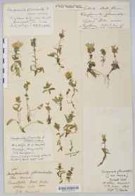 Campanula glomerata herbarium specimen from Collard Hill, VC6 North Somerset in 1834 by Mr Thomas Clark.