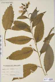 Campanula latifolia herbarium specimen from Killin, VC88 Mid Perthshire in 1933 by Mr Edward Charles Wallace.
