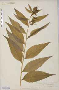 Campanula latifolia herbarium specimen from Clehonger, VC36 Herefordshire in 1880 by Rev. Augustin Ley.