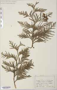 Thuja  herbarium specimen from Hindhead, VC17 Surrey in 1905 by Mr Charles Bailey.