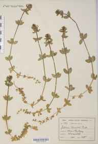 Cruciata laevipes herbarium specimen from Rubery, VC37 Worcestershire in 1901 by Mr Harold Stuart Thompson.