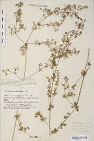 Galium mollugo herbarium specimen from Beggars Bush Lane, VC6 North Somerset in 1917 by Mr Harold Stuart Thompson.
