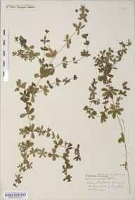 Galium mollugo herbarium specimen from Clapton in Gordano, VC6 North Somerset in 1917 by Mr Harold Stuart Thompson.