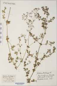 Galium mollugo herbarium specimen from Durdham Down, VC34 West Gloucestershire in 1916 by Mr Harold Stuart Thompson.