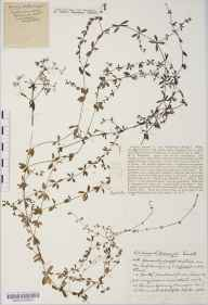 Galium palustre subsp. palustre herbarium specimen from Barrow Gurney, VC6 North Somerset in 1933 by Mr Harold Stuart Thompson.