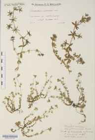 Sherardia arvensis herbarium specimen from North Chapel, VC13 West Sussex in 1934 by Mr Edward Charles Wallace.
