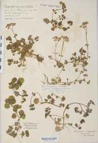 Chrysosplenium oppositifolium herbarium specimen from Pill, VC6 North Somerset in 1915 by Mr Harold Stuart Thompson.