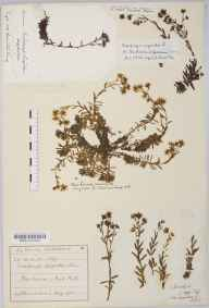Saxifraga aizoides herbarium specimen from Glencroe, VC98 Argyllshire in 1866 by Mrs Harriet Eleanor Hamilton King.