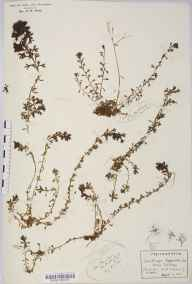 Saxifraga hypnoides herbarium specimen from Twll Du, VC49 Caernarvonshire in 1902 by Rev Douglas Montague Heath.