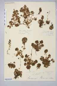 Saxifraga rosacea herbarium specimen from Carrauntoohil, VCH1 South Kerry in 1887.