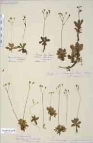 Saxifraga stellaris herbarium specimen from Brandon Peak, VCH1 South Kerry in 1887 by Rev. Augustin Ley.