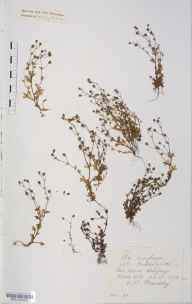 Saxifraga tridactylites herbarium specimen from Thorn Gill, VC64 Mid-west Yorkshire in 1876 by Mr Langley Kitching.