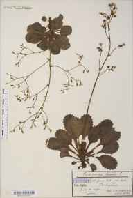 Saxifraga umbrosa herbarium specimen from Ashwood Dale, VC57 Derbyshire in 1890 by Mr James Walter White.