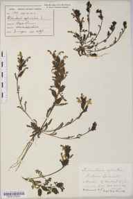 Pedicularis sylvatica herbarium specimen from Durleigh, VC5 South Somerset in 1821 by Mr Thomas Clark.