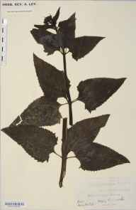 Scrophularia nodosa herbarium specimen from Sellack, VC36 Herefordshire in 1899.
