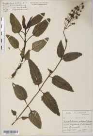 Scrophularia nodosa herbarium specimen from Liskeard, VC2 East Cornwall in 1900 by Mr Harold Stuart Thompson.