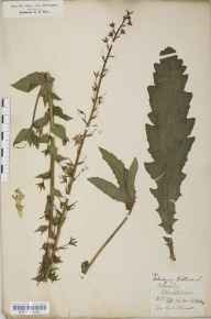 Verbascum blattaria herbarium specimen from Blockley, VC33 East Gloucestershire in 1852 by Rev. Henry Roberts.