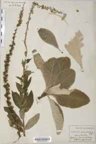 Verbascum pulverulentum herbarium specimen from Fornham All Saints, VC26 West Suffolk in 1926 by Rev Douglas Montague Heath.