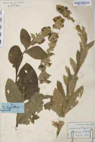 Verbascum thapsus herbarium specimen from Woodside Green, VC19 North Essex in 1912.