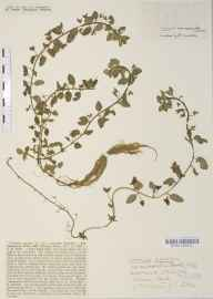 Veronica agrestis herbarium specimen from Hitchin, VC20 Hertfordshire in 1932 by Mr Joseph Edward Little.
