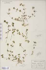 Veronica agrestis herbarium specimen from Bush End, VC19 North Essex in 1912 by Rev Douglas Montague Heath.