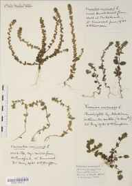 Veronica arvensis herbarium specimen from Pensford, Byemills Farm, VC6 North Somerset in 1931 by Mr Harold Stuart Thompson.