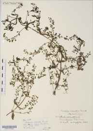 Veronica catenata herbarium specimen from Chew Magna Reservoir, VC6 North Somerset in 1934 by Mr Harold Stuart Thompson.