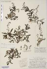 Veronica catenata herbarium specimen from Chew Magna Reservoir, VC6 North Somerset in 1933 by Mr Harold Stuart Thompson.