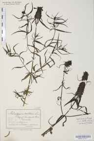 Melampyrum cristatum herbarium specimen collected by Amy Jane Clark.
