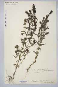 Odontites vernus herbarium specimen from Kew's Holt, VC54 North Lincolnshire in 1907 by Rev. Augustin Ley.