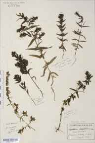 Odontites vernus herbarium specimen from Great Canfield, VC19 North Essex in 1912 by Rev Douglas Montague Heath.