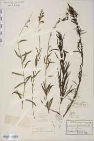 Linaria purpurea herbarium specimen from Lynton, VC4 North Devon in 1901 by Rev Douglas Montague Heath.