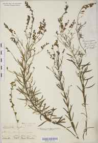 Linaria repens herbarium specimen from Shirley, VC11 South Hampshire in 1840 by Mr Thomas Clark.
