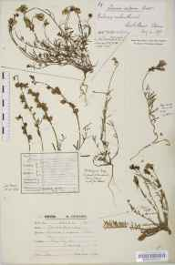 Linaria supina herbarium specimen from Saint Blazey, VC2 East Cornwall in 1849 by George Maw.