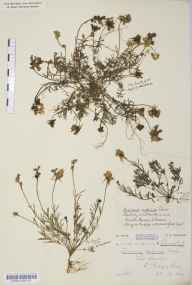 Linaria supina herbarium specimen from South Brent, VC3 South Devon in 1878 by Mr William Booth Waterfall.