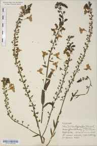 Linaria  herbarium specimen from Glastonbury, VC6 North Somerset in 1924 by Mr Harold Stuart Thompson.