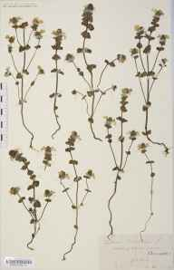 Euphrasia rostkoviana herbarium specimen from Pont Rhyd-y-Berry, VC42 Breconshire in 1907 by Rev. Augustin Ley.