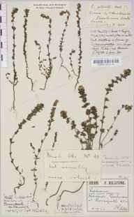 Euphrasia stricta herbarium specimen from Perranporth, VC1 West Cornwall in 1922 by Mr Francis Rilstone.
