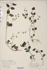 Veronica montana herbarium specimen from Castle Howard, VC62 North-east Yorkshire in 1886 by Mr Harold Stuart Thompson.