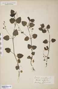 Veronica montana herbarium specimen from Ayton, VC62 North-east Yorkshire in 1855 by William A Mudd.
