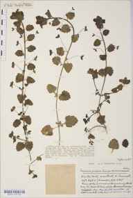 Veronica persica herbarium specimen from Newton Mill, Bath, VC6 North Somerset in 1931 by Mr Harold Stuart Thompson.