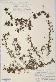 Veronica persica herbarium specimen from Monkton Combe, VC6 North Somerset in 1932 by Mr Harold Stuart Thompson.