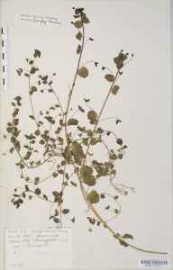 Veronica persica herbarium specimen from Bewdley, VC37 Worcestershire in 1887 by Mr Langley Kitching.