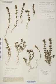 Euphrasia anglica herbarium specimen from Box Hill, VC17 Surrey in 1928 by Mr Herbert William Pugsley.
