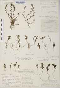 Euphrasia confusa herbarium specimen from Simonsbath, VC5 South Somerset in 1918 by Rev. Edward Shearburn Marshall.
