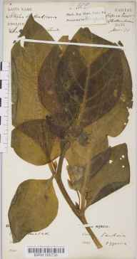 Atropa belladonna herbarium specimen from Cheltenham, Cooper's Hill, VC33 East Gloucestershire in 1873 by Dr Robert Large Baker.