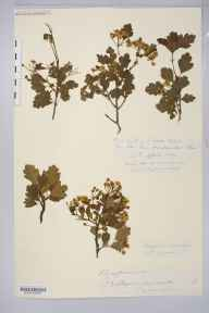 Crataegus laevigata herbarium specimen from Hentland, Ross, VC36 Herefordshire in 1882 by Rev. Augustin Ley.