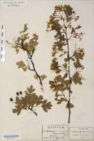 Crataegus monogyna herbarium specimen from Swaffham, VC28 West Norfolk in 1917 by Rev Douglas Montague Heath.
