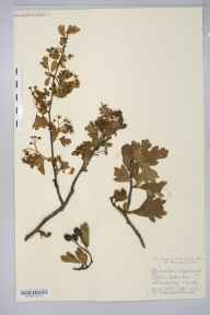Crataegus monogyna var. splendens herbarium specimen from Akeley, VC24 Buckinghamshire in 1905 by Mr George Claridge Druce.