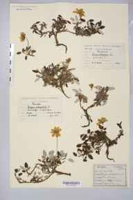 Dryas octopetala herbarium specimen collected in 1874 by Dr Robert Large Baker.